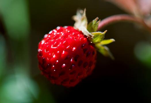strawberry_525