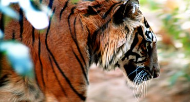 tiger_walking_525