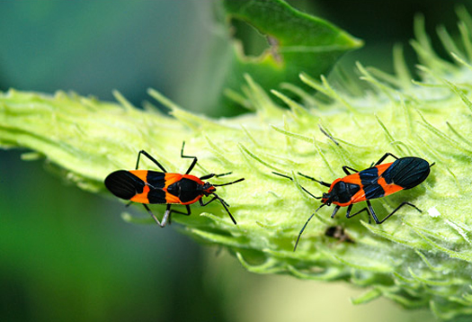 andolfatto_bugs_1