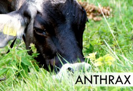 anthrax_cow