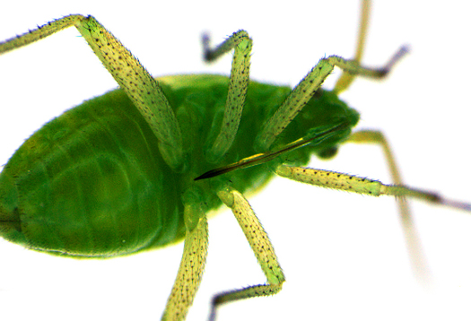 aphid_underbelly_525