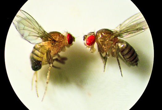 fruit_fly_couple_1