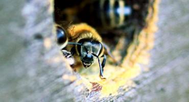 honeybee_wood_525