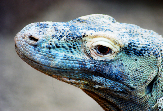 komodo_dragon_525
