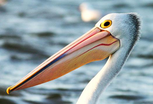 pelican_525