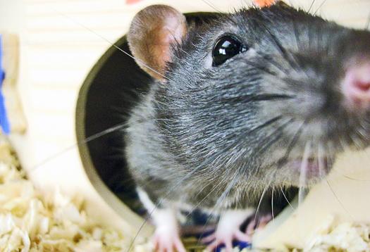 rat_nose_1