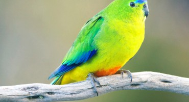 yellowbelliedparrot_525
