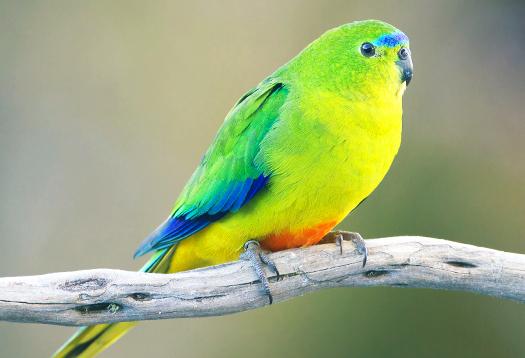 yellowbelliedparrot_525
