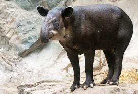 Bairds_tapir_1
