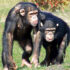 chimp_friends_1