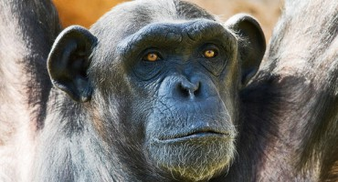 chimp_midlife_1