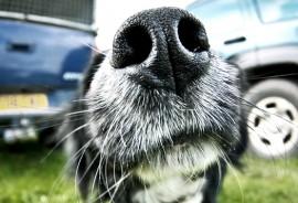 dog_nose_525