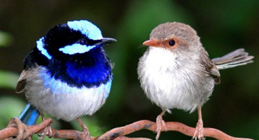 fairywren_pair_525