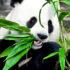 panda_eating_525