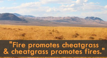 cheatgrass_525 copy