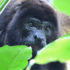 howler_monkey_525