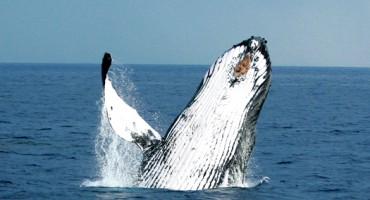humpbackwhale_525