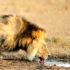 lion_drinking_525
