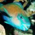 parrotfish_525