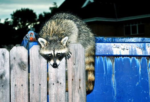 raccoon_525