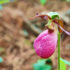Cypripedium acaule_1