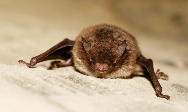 Daubenton's bat