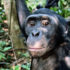bonobo_friendly_525