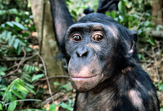 bonobo_friendly_525