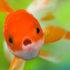 Red Oranda fish