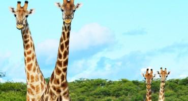 giraffepairs_525