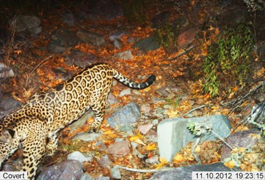jaguar_525