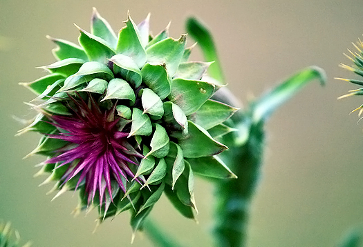 musk_thistle_525