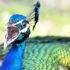 peacock_calling_525