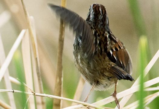 swamp_sparrow_525
