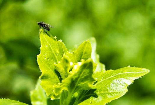 veg_fly_525