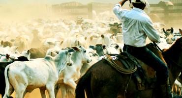 Brazil_cattle_525