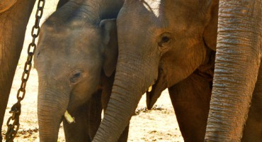 elephant_calves_525