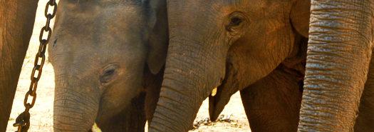 elephant_calves_525