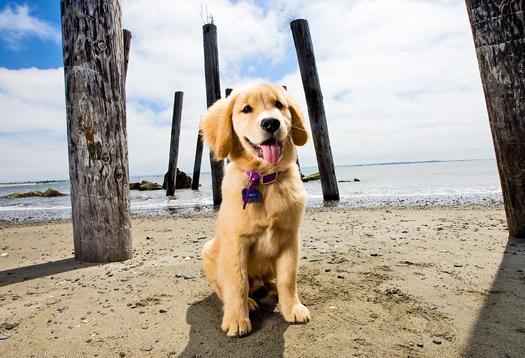 golden_puppy_1