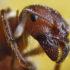 harvester_ant_1