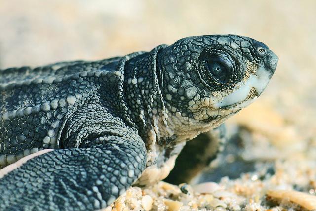 leatherback_turtle_1