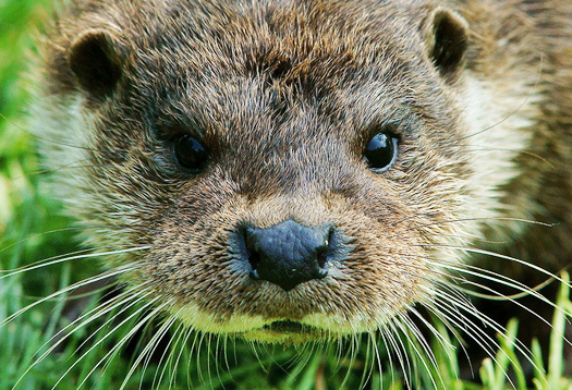 otterface_525