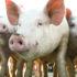 pig_farm_1