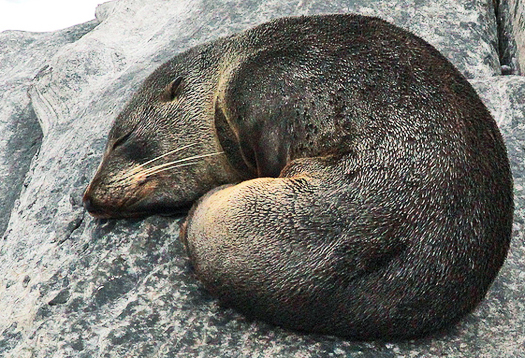 seal_asleep_525
