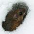 snow_mouse_525