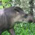 tapir_1