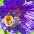 bee_purpleflower_525