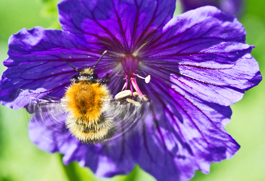 bee_purpleflower_525