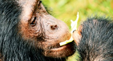 chimpanzee_eating_525