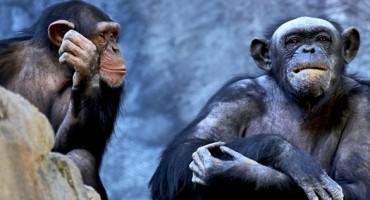chimpanzee_pair_525